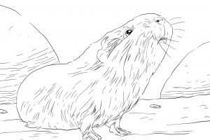 curious guinea pig coloring pages