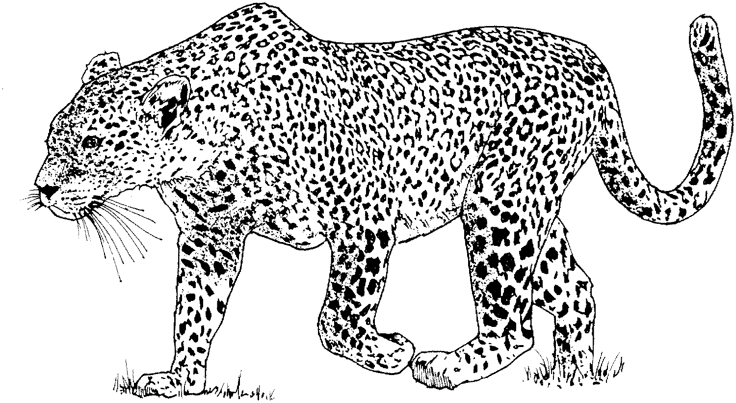leopard free coloring pages