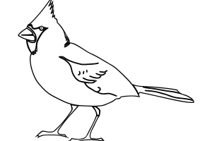 northern cardinal coloring pages