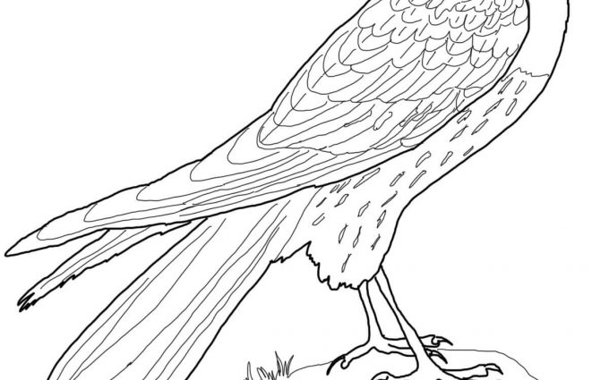 harrier coloring pages