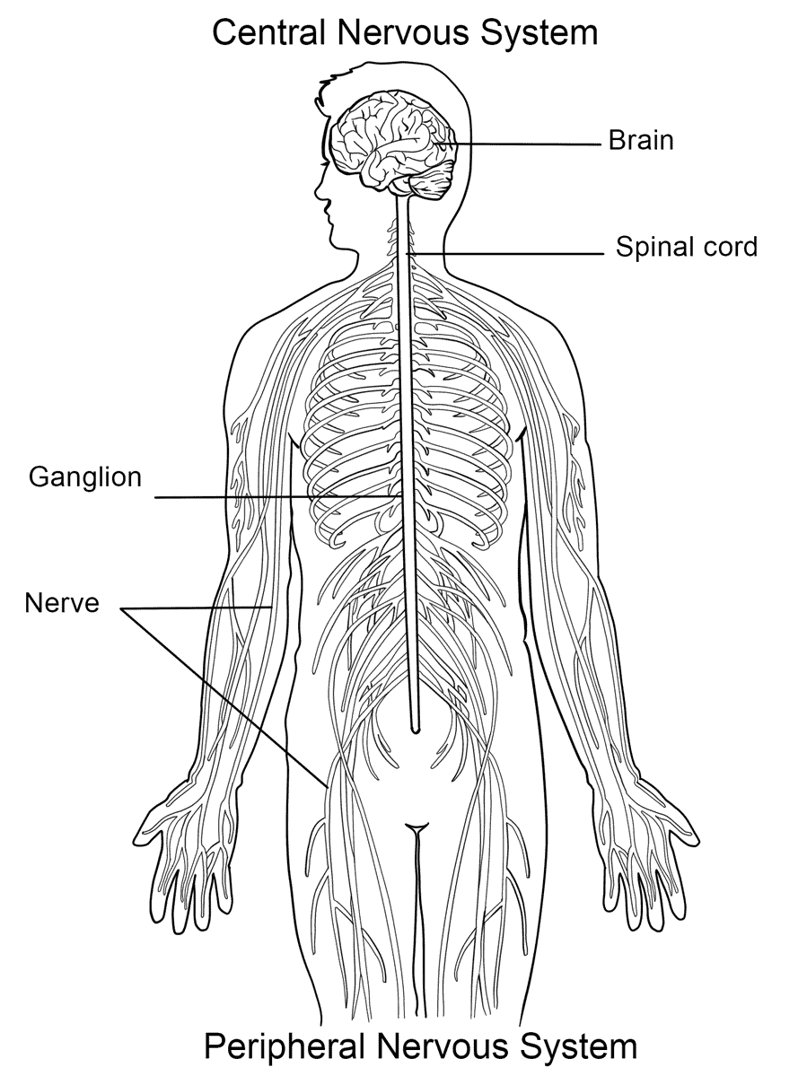 nervous system coloring pages